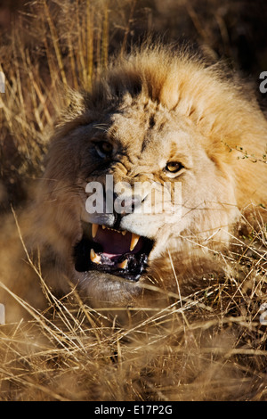 Charging Male Lion (Panthera leo) Namibia. - Stock Photo