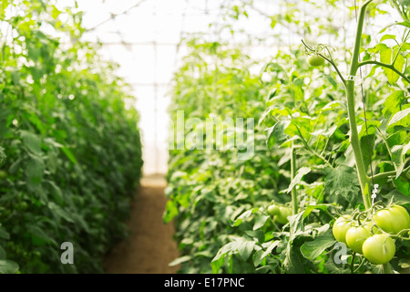Green tomatoes growing on vine in greenhouse - Stock Photo