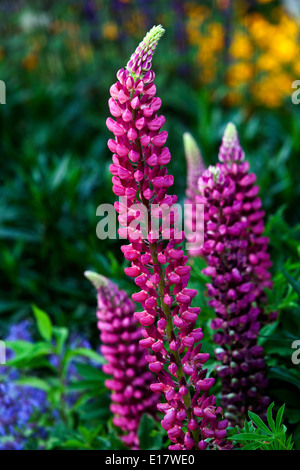 Lupinus polyphyllus, Lupine Lupines, Lupins - Stock Photo