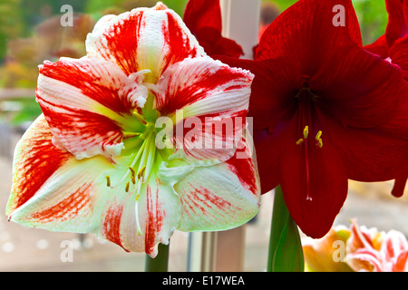 Duo of stripy pink and a red amaryllis close-up. - Stock Photo