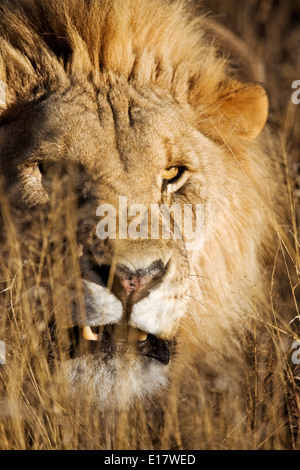 Snarling Male Lion (Panthera leo) in long grass. Namibia. - Stock Photo