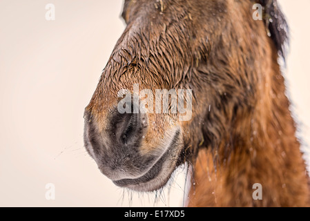 Wet Icelandic horse outside in a snowstorm, Iceland - Stock Photo
