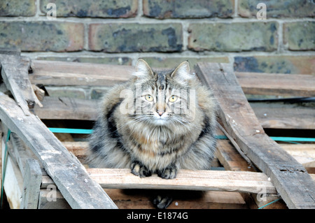 Long-haired tabby cat on wooden pallets - Stock Photo