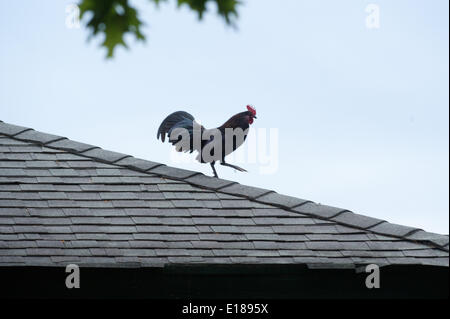 Elmont, New York, USA. 26th May, 2014. A rooster on the roof of a barn at Belmont Park, Monday, May 26, 2014. © - Stock Photo