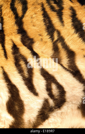 beautiful dark stripes on tiger fur, detailed texture of real pelt - Stock Photo