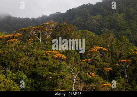 Flowering May Trees in Altos de Campana national park, Republic of Panama. This annual event normally takes place in May.