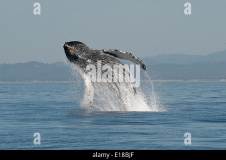 Humpback Whale (Megaptera novaeangliae) adult breaching high in the air. Monterey, California, Pacific Ocean. - Stock Photo