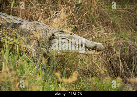 Nile crocodile in Uganda's Murchison Falls National Park, East Africa. - Stock Photo