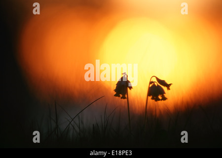 Wild Cowslips (Primula veris) at sunset - Stock Photo