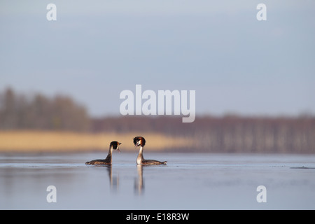 Courting Great Crested Grebes (Podiceps cristatus) - Stock Photo