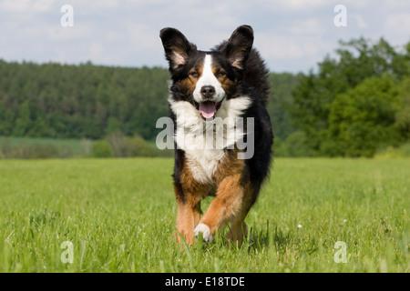 Bernese Mountain dog runs, jumps over a meadow - Stock Photo
