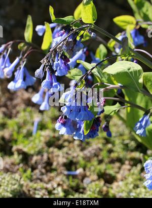 Virginia Bluebells, Mertensia virginica, Boraginaceae. North America. - Stock Photo
