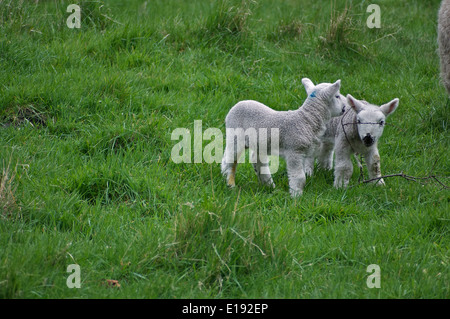 Two lambs on their own - Stock Photo