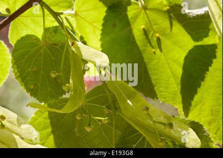 new winged seeds helicopter wind dispersal of bright lush common lime tree with fading flowers in spring - Stock Photo