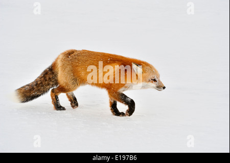 Red fox Vulpes vulpes Wapusk NP Cape Churchill Manitoba Canada - Stock Photo