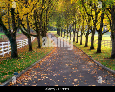 Tree lined road and fence with maple trees in fall color. Oregon - Stock Photo