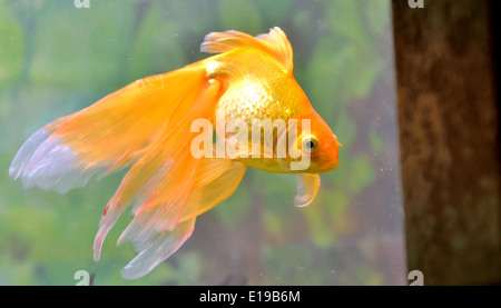 Gold fish (golden carp) isolated in aquarium - Stock Photo