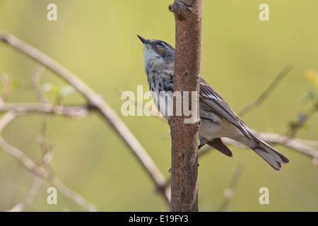 Yellow-rumped warbler (Setophaga coronata) - Stock Photo