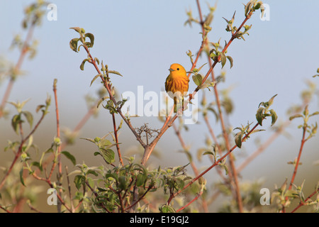 Male Yellow warbler (Setophaga petechia) on tree branch during the Spring migration, Magee Marsh, Ohio. - Stock Photo