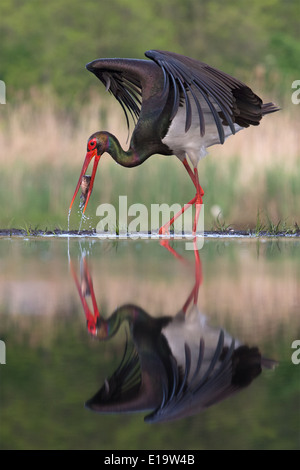 Black Stork (Ciconia nigra) catching a fish - Stock Photo