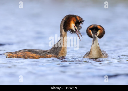 Adult male Great Crested Grebe (right) (Podiceps cristatus) displaying to female - Stock Photo