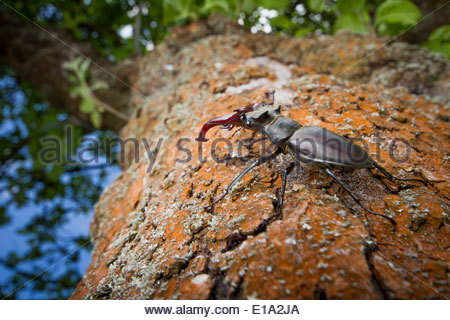 Stag Beetle, Lucanus cervus on an old apple tree in a garden in Surrey, England - Stock Photo