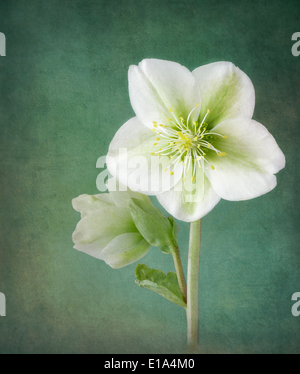 White Hellebores on textured background - Stock Photo