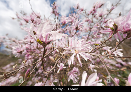 First flowers of spring lots gentle pink tint magnolia flower contrasts with bare dark branches and tree in diffused - Stock Photo