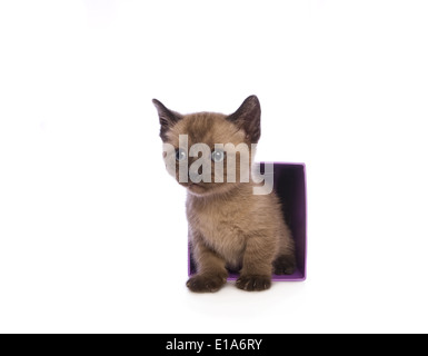 Cute Munchkin kitten with big head stepping out of box isolated on white background