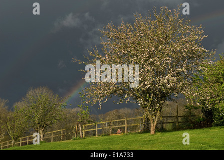 Dark sky with a vivid rainbow over a garden with a flowering crab apple tree on a showery spring day in West Berkshire - Stock Photo