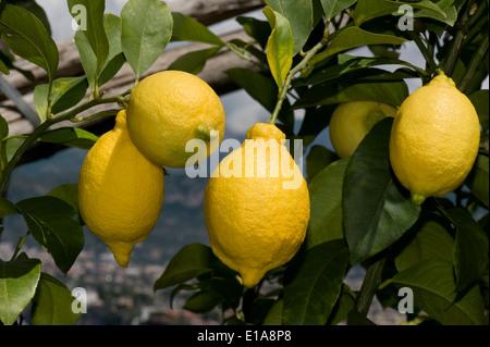 Ripe lemons on the tree near Sorrento and the Bay of Naples in Italy - Stock Photo