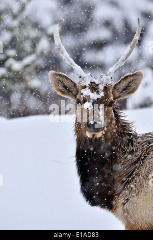 A portrait image of a young bull elk taken on a snowy day - Stock Photo