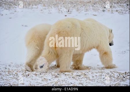 Polar Bear Ursus maritimus Mother with yearling second-year cub Wapusk NP Cape Churchill Manitoba Canada - Stock Photo