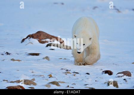 Polar bear (Ursus maritimus) Yearling cub Wapusk National Park, Cape Churchill Manitoba Canada - Stock Photo