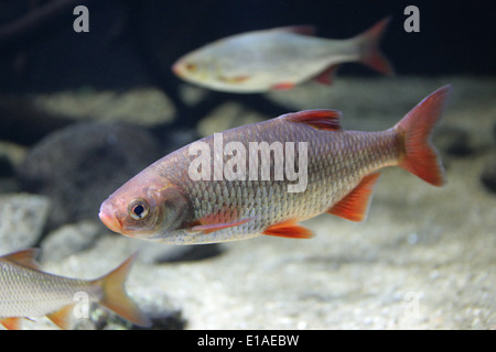 Common Rudd, Scardinius erythrophthalmus, Cyprinidae. A bentho-pelagic freshwater fish, widely spread in Europe - Stock Photo
