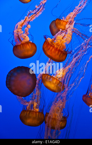 SEA NETTLE JELLYFISH on display at the MONTEREY BAY AQUARIUM - MONTEREY, CALIFORNIA - Stock Photo