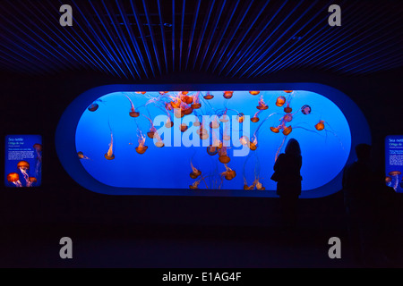Visitors watch SEA NETTLE JELLYFISH on display at the MONTEREY BAY AQUARIUM - MONTEREY, CALIFORNIA - Stock Photo