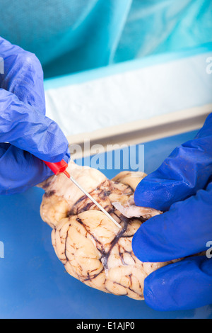 Physiology student examining a brain of a cow taking a closer look at an optic nerve before commencing the dissection - Stock Photo
