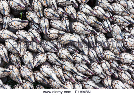White Mussels Reveal Themselves at Kehoe Beach During a Minus Tide, Point Reyes National Seashore, California - Stock Photo