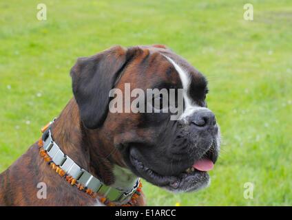 Boxer or German Boxer, dog portrait - Stock Photo