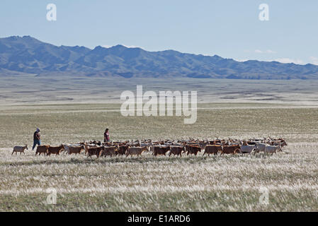 Nomads driving Cashmere Goats (Capra hircus laniger) across the steppe, Feathergrass or Feather Grass (Stipa pennata) - Stock Photo