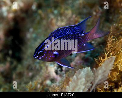 Damselfish (Chromis chromis), near Santa Maria, Azores, Atlantic Ocean, Portugal - Stock Photo
