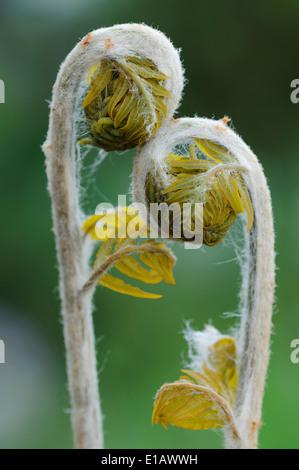 bracken, pteridium aquilinum, lower saxony, germany - Stock Photo