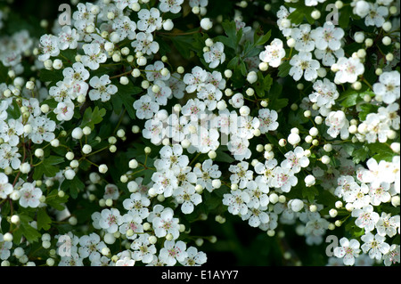 Hawthorn or May blossom, Crataegus monogyna, prolific white flowers on a native hedgerow plant - Stock Photo