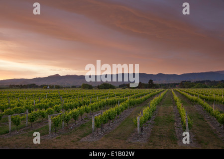 Vineyards at dawn, Renwick, near Blenheim, Marlborough region, South Island, New Zealand, South Pacific - Stock Photo