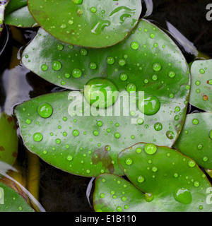 Lotus leaf with water drop - Stock Photo