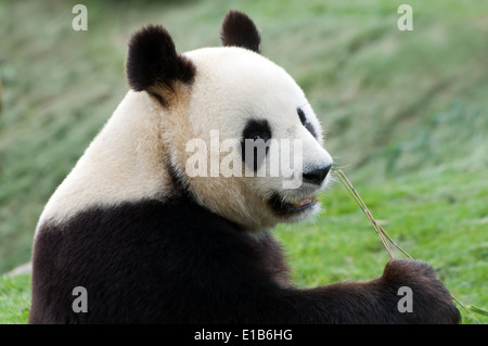 rare adult big panda eating bamboo - Stock Photo