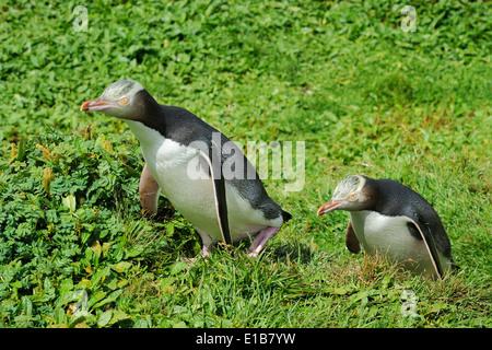 Two Yellow-eyed Penguins ( Megadyptes antipodes) walking through grass.