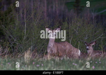 Mule Deer (Odocoileus hemionus) Standing, with ears perked and on alert for danger, in the early morning light. - Stock Photo