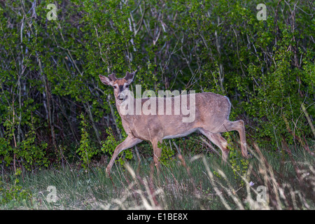 Mule Deer (Odocoileus hemionus) Walking with ears perked and on alert for danger, in the early morning light. - Stock Photo